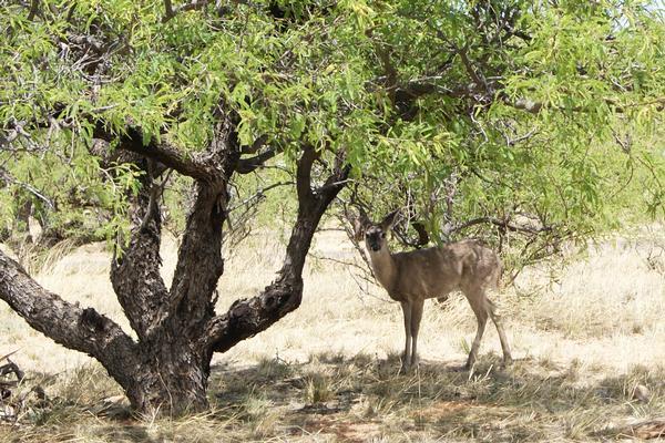 Southern Arizona Coues Whitetail