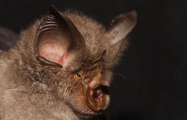 Strange-looking bat with curled nose