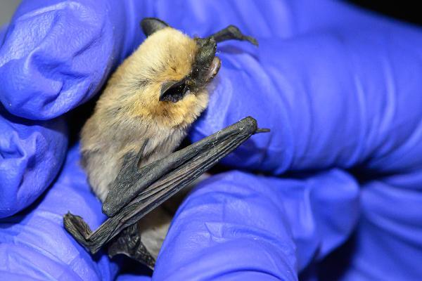 A tiny bat is held in gloved hands during a bat study at Kartchner Caverns State Park