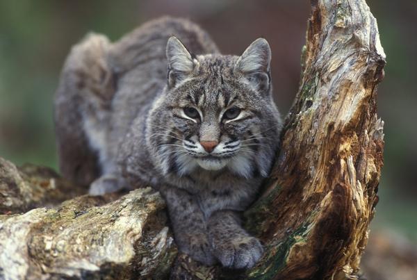 Southern Arizona Bobcat