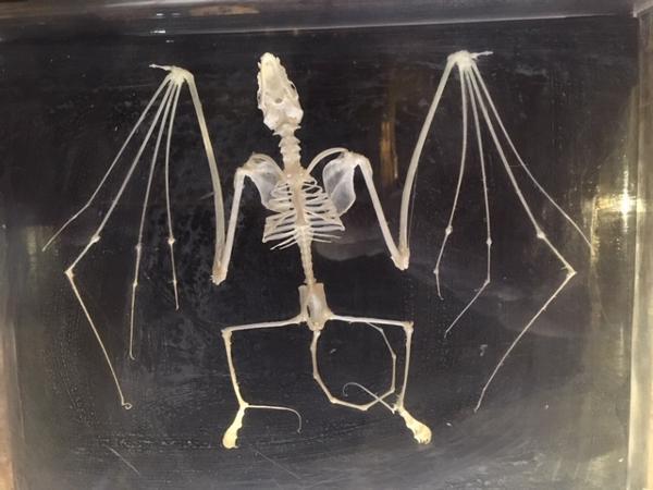 Bat skeleton bones