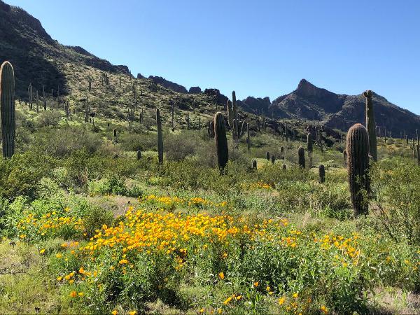 Picacho Peak Wildflowers