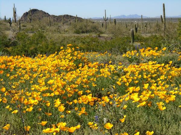 Orange Mexican poppies blooming at Picacho Peak State Park.
