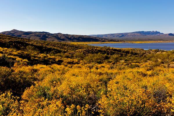 Alamo Lake State Park wildflowers surrounding the lake.