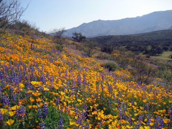 Flowers cover the hills in Catalina State Park