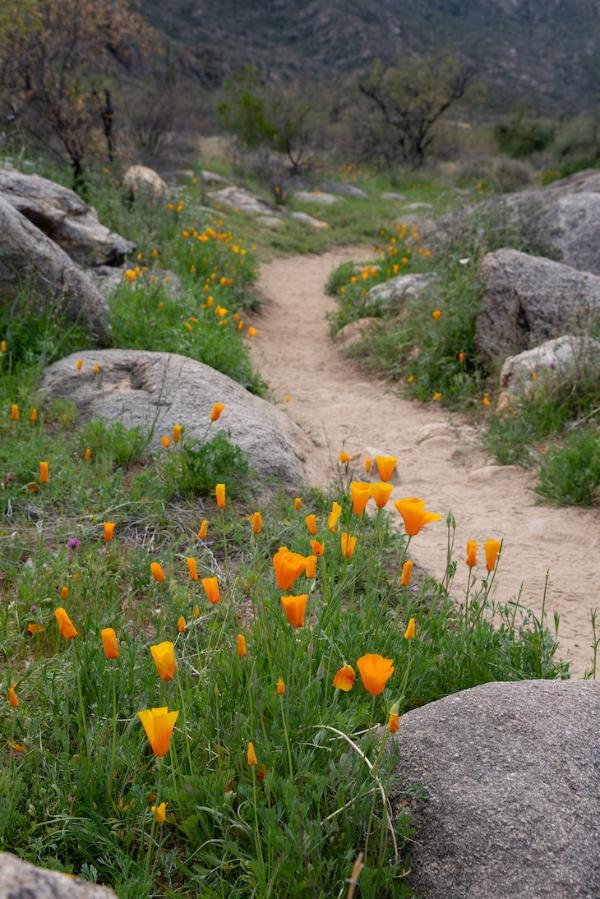 Orange Mexican poppies line a trail in Catalina State Park