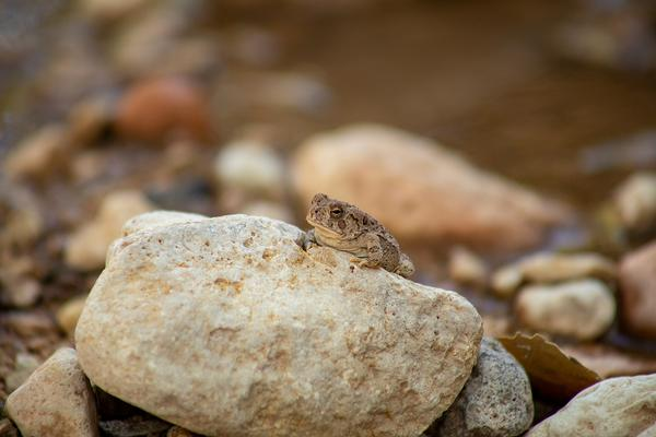 Red-Spotted Toad Arizona