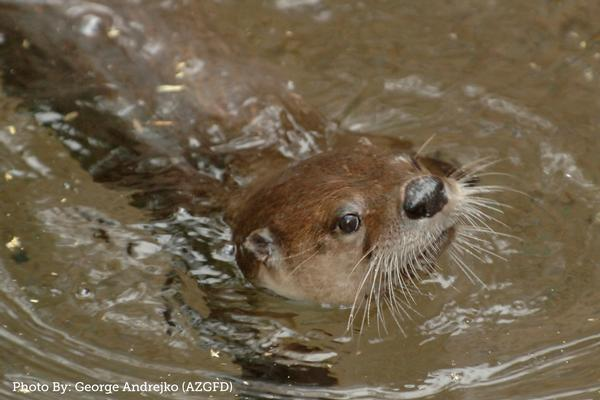 Arizona River Otter at Dead Horse Ranch State Park