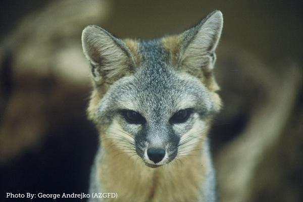 Arizona Gray Fox