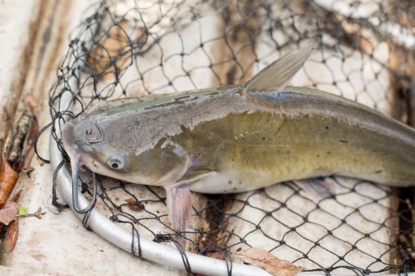 Arizona State Parks Catfish