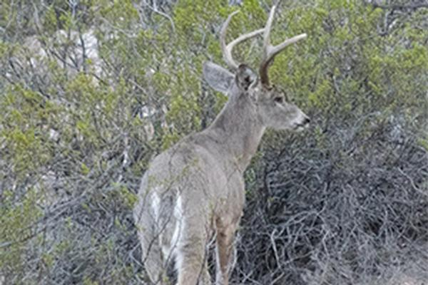 Coues Whitetail Deer