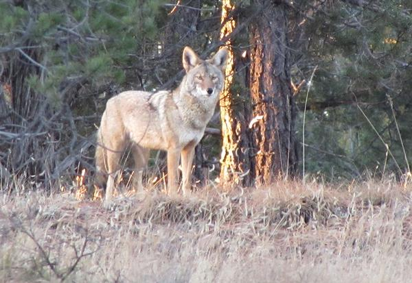 White Mountains Arizona Coyote