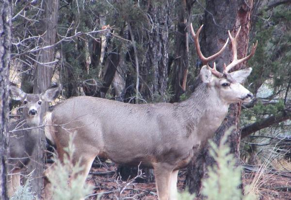 Arizona White Mountains Mule Deer