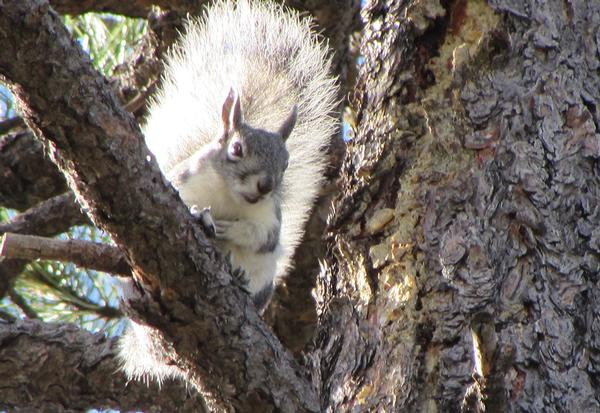 White Mountains Arizona Abert's squirrel