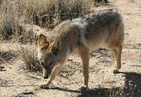 Coyote Lost Dutchman State Park