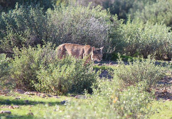 Lost Dutchman State Park Bobcat.