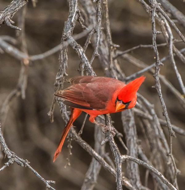 A bright red cardinal sits on a tree branch at the park.