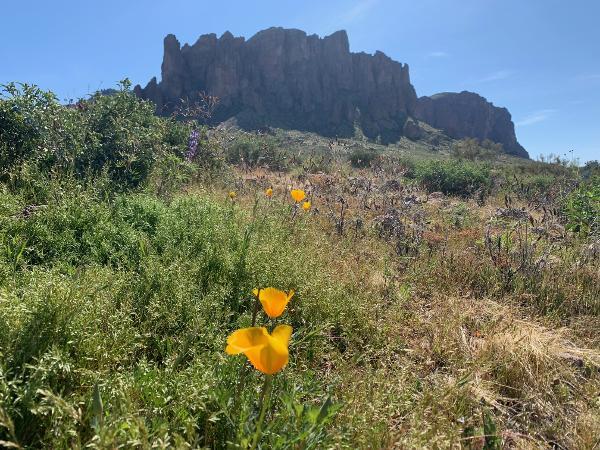 Lost Dutchman Wildflowers