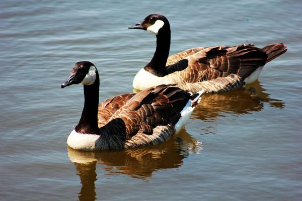 Lyman Lake Wildlife Viewing- Canadian Geese
