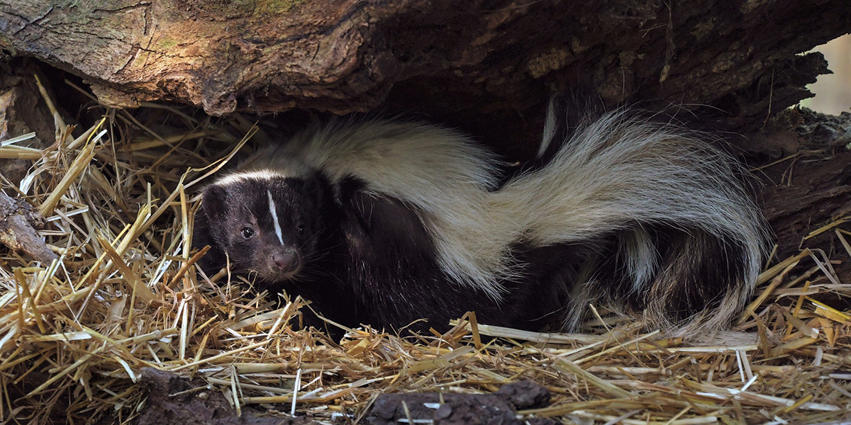 Oracle State Park wildlife viewing- Skunk