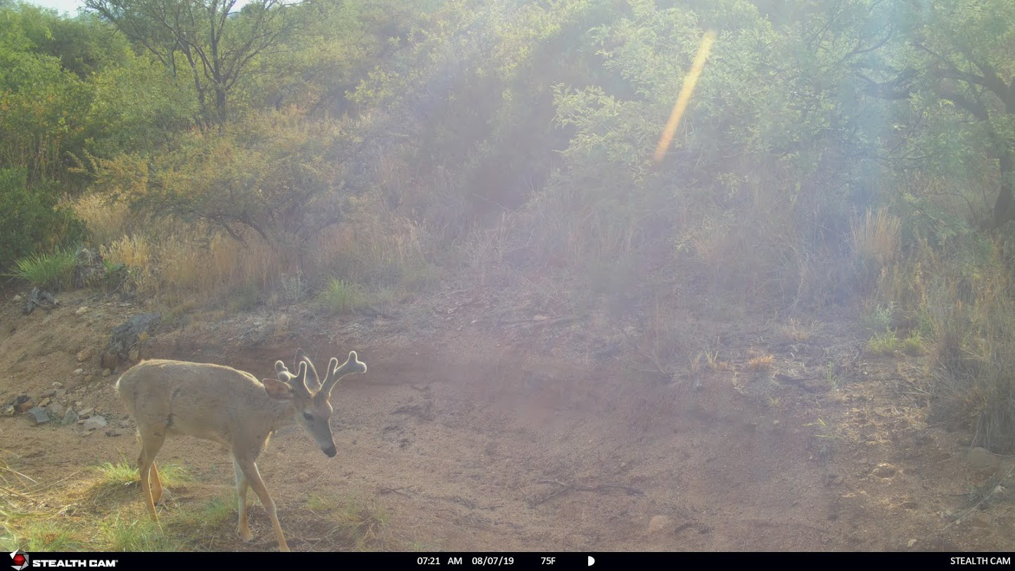 Coues deer buck trail cam pic