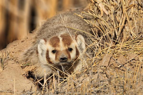 Wildlife viewing at Picacho: Arizona Badger