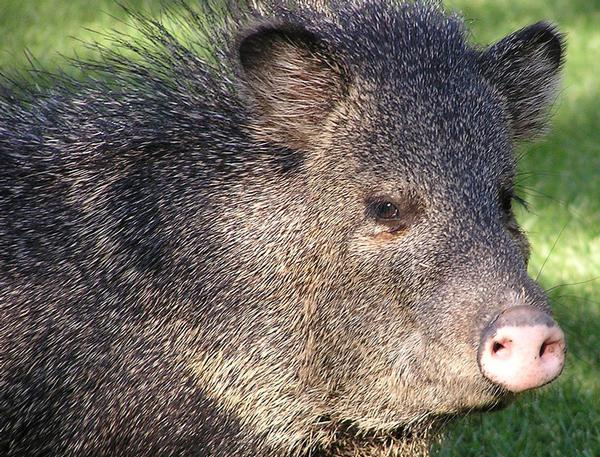 Arizona Wildlife Javelina close up standing in sunny field