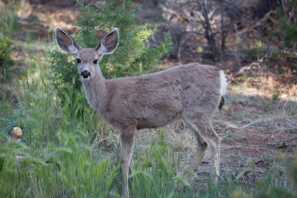Arizona Wildlife Young mule deer listening in shadows