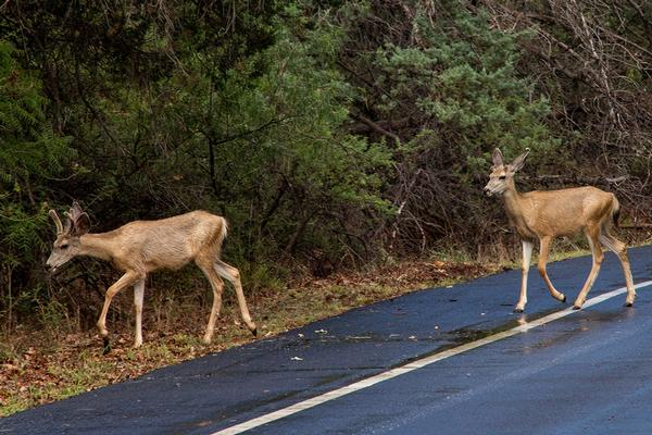Two young mule deer bucks crossing paved road at Red Rock State Park.