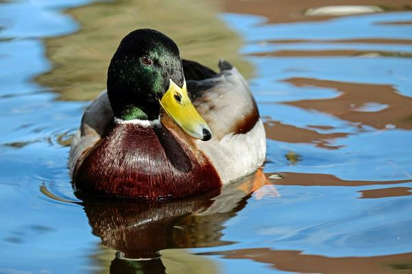 Mallard- Colorado River, Arizona