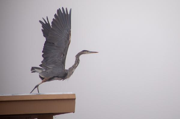 Great Blue Heron spotted at Roper Lake State Park
