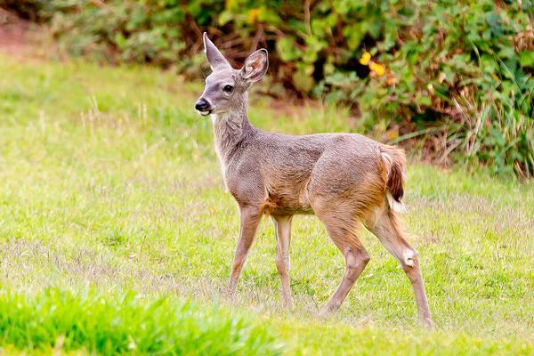 Coues Whitetail Deer: Slide Rock State Park Sedona, Arizona