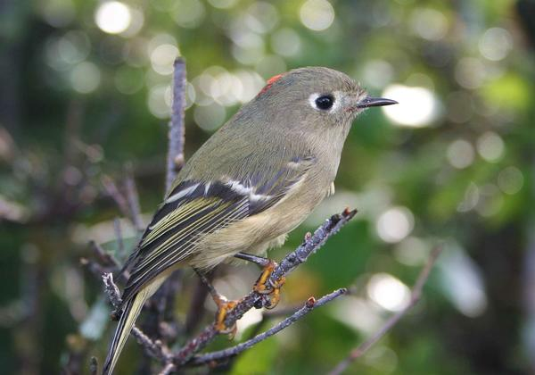 Bird watching Sedona: Ruby Crowned Kinglet