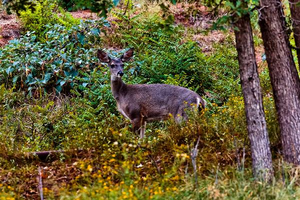 Slide Rock Sedona Coues Whitetail