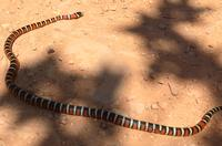 Arizona kingsnake