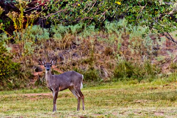 Coues whitetail deer at Slide Rock State Park