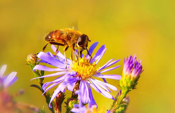 Wildflowers: Marsh Aster being pollinated by a bee.