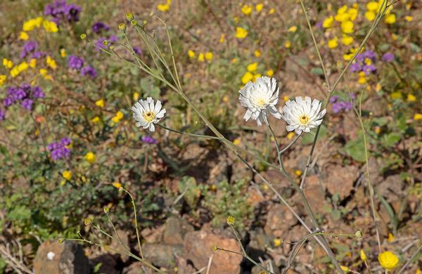 Wildflowers: Wispy and white Gravel Ghost blooms in Arizona desert wash