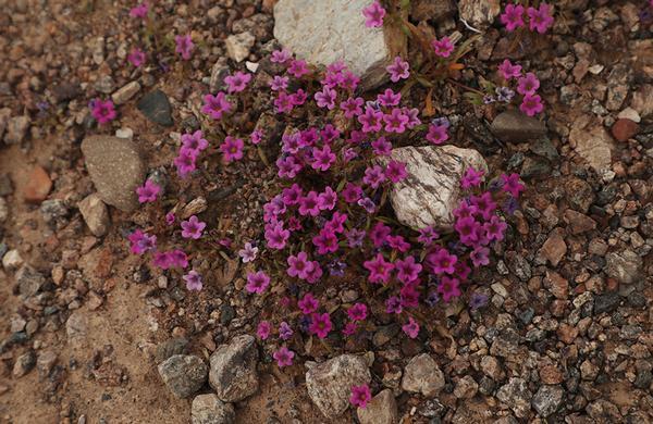 Wildflowers: Purple Mat blooms in rocky Arizona wash