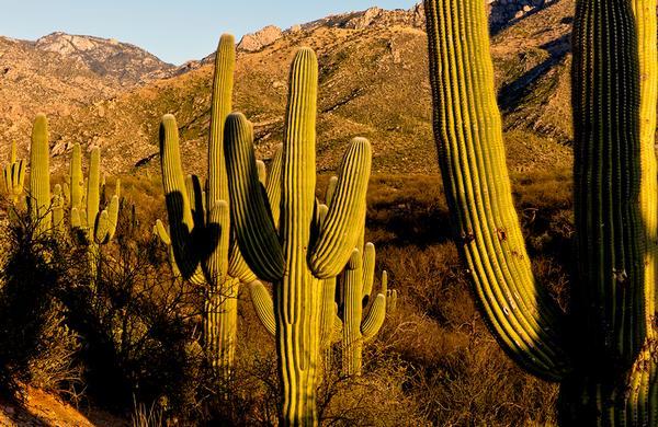 Desert Plants: Saguaro