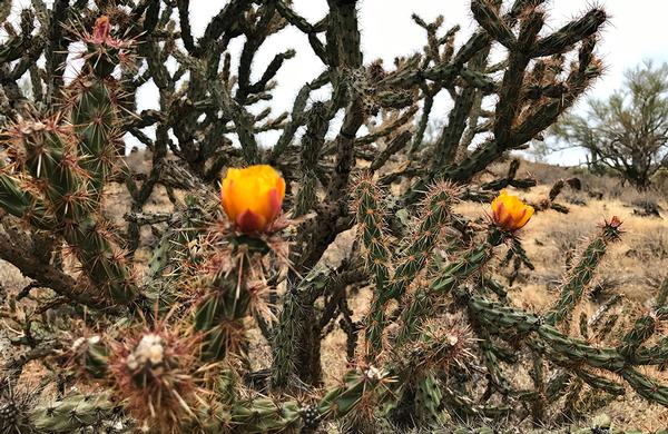 Desert Plants: Central Arizona Buckhorn Cholla with yellow blooms