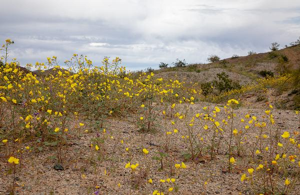 Desert Plants: Western Arizona Yellow Cups blooming at River Island State Park