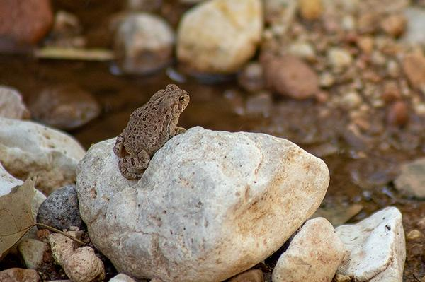 Arizona Wildlife Red Spotted Toad