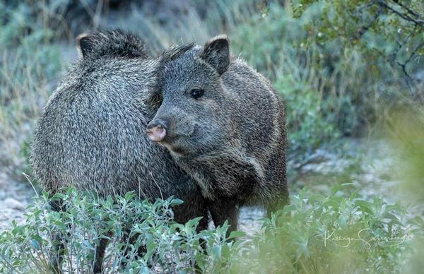 Javelina engaged in social rubbing of scent gland