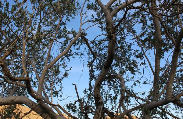 Desert Plants: Ironwood