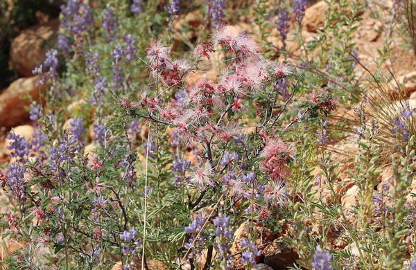 Wildflowers: Pink Fairy Duster blooms in Sonoran Desert
