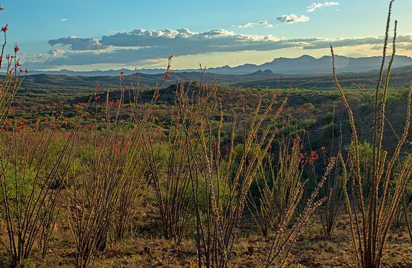 Desert Plants: Ocotillo