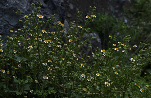 Wildflowers: Rock Daisy flowers blooming on sandy Sonoran desert floor