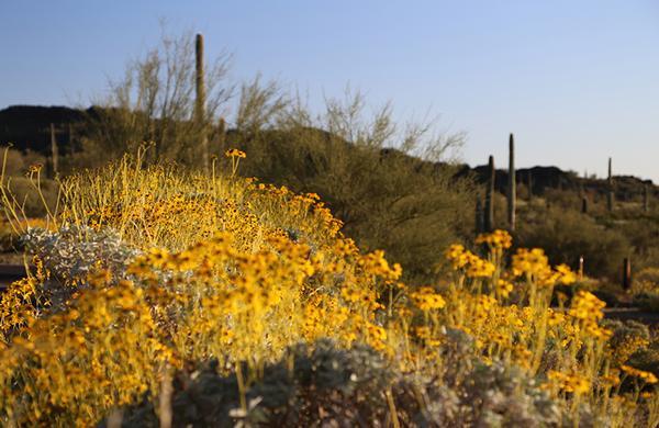 Wildflowers: Brittlebush blooming in Sonoran Desert