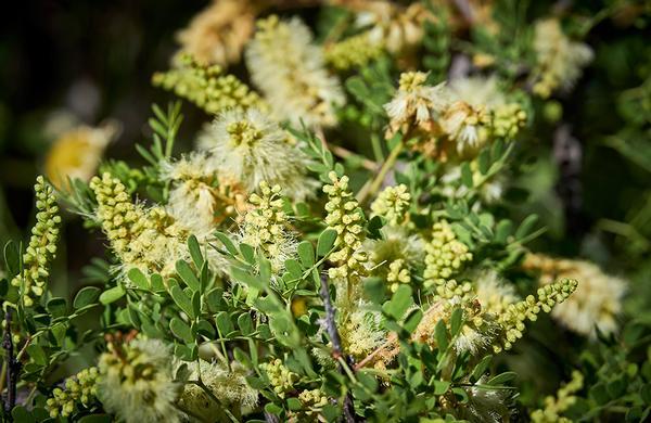 Desert Plants: Catclaw Acacia